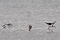 Greenshanks and Marsh Sandpipers (24415704459).jpg
