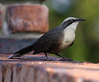 Grey-crowned babbler - Image: Grey crowned babbler 08