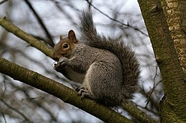 Grey Squirrel - geograph.org.uk - 491818.jpg