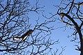 Grey Squirrel in a Tree - geograph.org.uk - 1105633.jpg