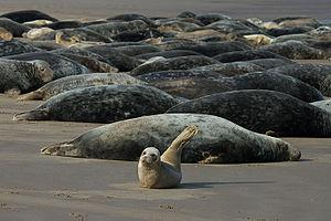 Donna Nook - Image: Grey seals