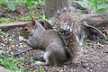 Grey squirrel 5.jpg