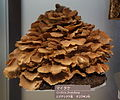 Grifola frondosa - National Museum of Nature and Science, Tokyo - DSC06850.JPG