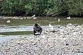 Grizzly on the Nekite RIver - panoramio.jpg