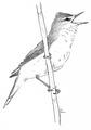 Grote karekiet Acrocephalus arundinaceus Jos Zwarts 4.tif
