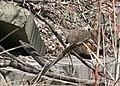 Groundhog eating a bird? (2408108348).jpg