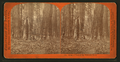 Group of Trees in the Mammoth Grove, by Lawrence & Houseworth.png