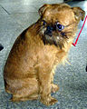 The Griffon Bruxellois or Brussels Griffon is a breed of toy dog.