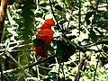 Guianan Cock-of-the-rock (Rupicola rupicola) (27491132669).jpg