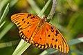 Gulf Fritillary butterfly (7658103608).jpg