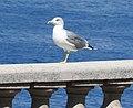 Gull (27354841274).jpg