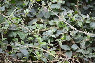 Gymnema sylvestre - Gymnema sylvestre