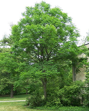 English: Kentucky Coffee Tree, Gymnocladus dio...