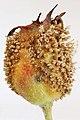 Gymnosporangium confusum on Crataegus monogyna 2.jpg