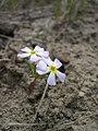 Gymnosteris nudicaulis-4-13-04.jpg