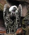 Gyps rueppellii- Ruppell's Griffin Vulture (21271562191).jpg