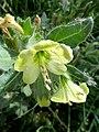 H.albus-flor-3.jpg