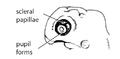 H5. Pupil forms (V08e).png