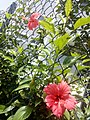 HK 般咸道 Bonham Road 大紅花 China Rose red flower St Paul's College August 2017 Lnv2 04.jpg