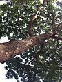 HK Central 香港公園 Hong Kong Park tree 非洲桃花心木 Khaya senegalensis crown Nov-2013.JPG