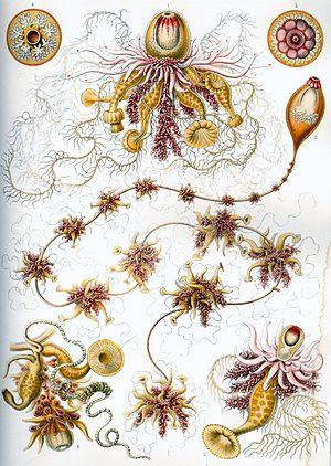 Hydrozoa - Siphonophorae