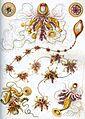 Haeckel Siphonophorae 7.jpg