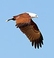 Haliastur indus -Karratha, Pilbara, Western Australia, Australia -flying-8 (17).jpg