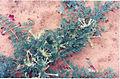 Harpagophytum 5.jpg
