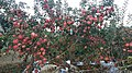 Harvest Festival in countryside - Pink Apples Harvest.jpg