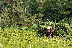 Pennisetum purpureum - Use as fodder crop in Kenya