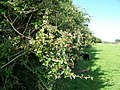 Hawthorn hedge near Great Hinton - geograph.org.uk - 1437845.jpg