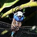 Head of dragonfly 2.jpg