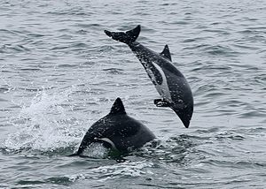 Heaviside's dolphin - Heaviside's dolphins off Walvis Bay, Namibia