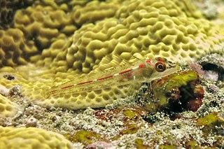 Little hooded triplefin species of fish