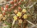 Helichrysum lineare, blomme, Tweeling, e.jpg