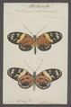 Heliconius - Print - Iconographia Zoologica - Special Collections University of Amsterdam - UBAINV0274 049 15 0002.tif