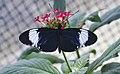 Heliconius cydno, Jardín Botánico de Múnich, Alemania, 2013-01-27, DD 01.JPG