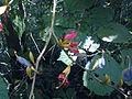 Helictres isora Sterculiaceae3.jpg