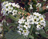 Heliotropium europaeum3