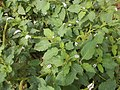 Heliotropium indicum au jardin botanique et zoologique de l'UAC.jpg