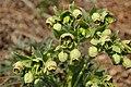Helleborus foetidus, Santa Coloma de Farners 02.jpg