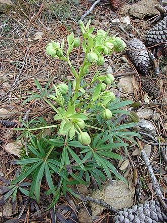 Marihuana de los tontos, hierba de ballesteros o eléboro fétido (Helleborus foetidus L. 1753) es una especie botánica perteneciente a la familia Ranunculaceae.