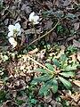 Helleborus niger Kőszeg1.jpg