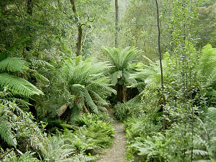 The Tasmanian rainforest is considered a Gondwanan relic. Hellyer Gorge, Tasmania.jpg
