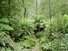 The Tasmanian rainforest is considered a Gondwanan relic.
