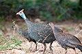 Helmeted Guine Fowl (3690647541).jpg