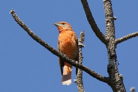 Hepatic Tanager (male) - Trip to Barfoot - Cave Creek - AZ - 2015-08-19at10-32-3315 (21637696125).jpg
