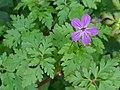 Herb robert Geranium robertianum.jpg