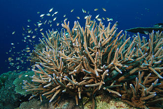 Staghorn coral (Acropora cervicornis) is an important hermatypic coral from the Caribbean Hertshoon.jpg