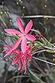 Hesperantha coccinea (Iridaceae) (6786097282).jpg